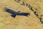 A New Book Dedicated to the Andean Condor is Published
